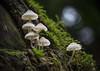 outcast (gnarlydog) Tags: australia nature fungi manualfocus macro speckledhighlights backlit mushroom vintagelens shallowdepthoffield kodakanastigmat63mmf27 moss rainforest