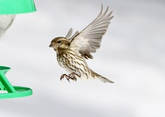 Incoming (Diane Marshman) Tags: female purple finch purplefinch small songbird streaked brown white tan feathers chest breast head notched tail inflight flying action motion winter northeast pa pennsylvania nature wildlife birdfeeder bird