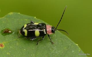 Leaf beetle, Asphaera sp., Chrysomelidae