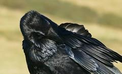 Raven -Corvus corax - Dorset coast -100118 (16) (ailognom2005) Tags: raven birds corvuscorax dorset seenondorsetcoast jurassiccoastuk jurassiccoastworldheritagesite passerine dorsetwildlife