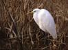 Silberreiher 8.1.18 (1) (Sven B. 1978) Tags: silberreiher reiher vogel