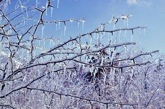 Ice On Hawthorn (Laurette Victoria) Tags: winter hawthorn ice icestorm indiana