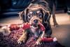 Play Time (_John Hikins) Tags: kelpie karl d500 dog australiankelpie animal australian pet animals toy sausages rope highiso 16000 iso16000 nikon nikkor 35mm pull low light