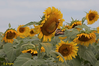 DSC_7258 ~ Sunflower with Eastern Swallowtail
