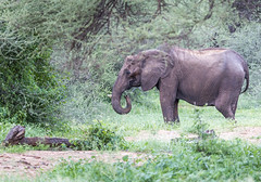 Old Ellie (Sheldrickfalls) Tags: elephant elephantcow olifant makuleke makulekeconcession krugernationalpark kruger krugerpark limpopo southafrica loxodantaafricana