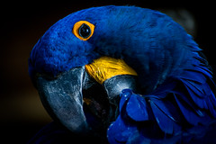 Blue Ara (Greg @ Montreal) Tags: blueara parrot bird moodygarden galveston texas animalincaptivity animal animaux oiseau perroquet ara blue bleu arableu usa etatsunis closeup wildlife nikon nikonpassion d7100 rainforest rainforestpyramid