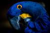 Blue Ara (Greg @ Montreal) Tags: blueara parrot bird moodygarden galveston texas animalincaptivity animal animaux oiseau perroquet ara blue bleu arableu usa etatsunis closeup wildlife nikon nikonpassion d7100 rainforest rainforestpyramid