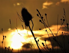 Teasel Silhouette Dawn (Gilli8888) Tags: druridgeponds druridge northumberland northeast countryside nikon p900 sunrise teasel dawn sun sky light silhouette silhouettephotography clouds flora wetlands explore coolpix