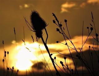 Teasel Silhouette Dawn