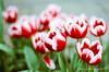 Tulips (紅襪熊(・ᴥ・)) Tags: kodak gold 100 kodakgold100 expired pentax m42 spf 底片 film 銀鹽 filmphotography 過期 autotakumar55mmf18 takumar 55mm f18 55 18 bokeh autotakumar 陽明山 鬱金香 tulip