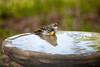 Yellow-Rumped Warbler after a bath (*annajane*) Tags: yellowrumpedwarbler bird florida usa birdbath wintermigration water setophagacoronata woodwarblers yellowrumped warbler