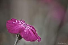 Kronen-Lichtnelke / Lychnis coronaria (peterkaroblis) Tags: garten garden blume flower makro pflanze red rot kronenlichtnelke lychniscoronaria