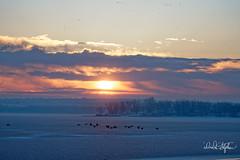 Frosty, Foggy Sunrise (dcstep) Tags: a7r8061dxo cherrycreekreservoir ice snow sunrise geese canadageese goose canadagoose flight bif birdinflight flying gaggle pink blue orange handheld sonya7riii fe100400mmf4556gmoss fe14xteleconverter cherrycreekstatepark colorado aurora usa allrightsreserved copyright2018davidcstephens dxophotolab instagram