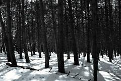 White forest...(explore) (Raquel Borrrero) Tags: wood forest bosque arboles trees snow white blackandwhite blancoynegro granada sierranevada españa explore madera árbol cold frio