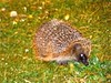 Something nice (nannyjean35) Tags: hedgehog spikes spines flowers