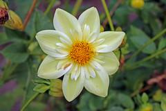 Dahlia 'Clair de Lune' - BG Meise (Ruud de Block) Tags: meisebotanicalgarden nationaleplantentuinmeise jardinbotaniquemeise ruuddeblock asteraceae compositae dahliaclairdelune