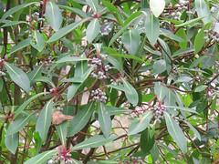 Tasmannia purpurascens 5 (Barry M Ralley) Tags: barrington tops national park nsw australia polblue swamp australianrainforestplants australian rainforest plants species new south wales ausrfps winteraceae
