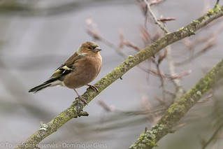 Pinson des arbres - Common chaffinch