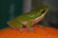 Eastern Sedgefrog - Litoria fallax. 30mm (Steve Hitchcock) Tags: easternsedgefrog litoriafallax stevehitchcock australianfrogs queenslandfrogs