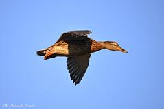Germano reale _039 (Rolando CRINITI) Tags: germanoreale uccelli uccello birds ornitologia canaledicalma gronda pra natura anatre