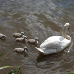 Mute Swans with chicks thumbnail