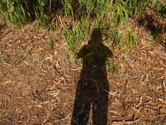Unter anderem ist hier das Laub des Blauen Eukalyptus (Eucalyptus globulus) zu sehen; Luz (Lagos), Algarve (28) (Chironius) Tags: rosids malvids myrtales myrtenartige myrtaceae myrtengewächse myrtoideae eucalypteae eukalypten eucalyptus baum bäume tree trees arbre дерево árbol arbres деревья árboles albero árvore ağaç boom träd algarve portugal luz sofiligran schatten