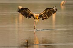 Here I come.... (Moving Iris) Tags: bird birdphotography birding birdwatching birdinflight stork wader nature morning nikon nikond500 nikkor200500vr