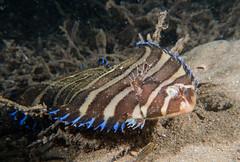 Soleichthys microcephalus - Small head sole #marineexplorer (Marine Explorer) Tags: scuba nature marine underwater australia marineexplorer