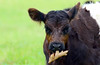 Cow (AmyEHunt) Tags: calf cow leaf farm animal bovine grass
