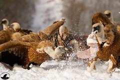 Buitre leonado (Jose A Amado Hidalgo) Tags: buitreleonado gypsfulvus accipitridae accipitriformes accipitridos griffonvulture saiare voitrecomun voltorcomu