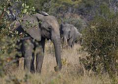 The herd (Sumarie Slabber) Tags: safari big5 animals elephants nature wild wildlife sumarieslabber veld grass bush trunk nikon