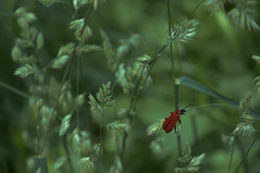 Welcome back, bug! (Phiℓippe) Tags: macro proxi vert green rouge red tiny insect bug