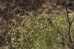 Shining-blue Kingfisher (Alcedo quadribrachys) (macronyx) Tags: bird birds birding aves birdwatching fåglar vogel oiseaux nature wildlife ghana africa kingfisher shiningbluekingfisher alcedo alcedoquadribrachys