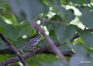 0326 Black and White Warbler