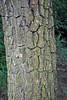 Diospyros kaki L.f. (var. lycopersicon) - Kew Gardens (Ruud de Block) Tags: kewgardens ruuddeblock royalbotanicgardens ebenaceae diospyroskaki diospyros kaki