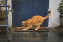 The Cat Scratched On The Mat (NVOXVII) Tags: cat feline scratching mat doorstep clovelly village nikon ginger door reflection rain wet devon animal