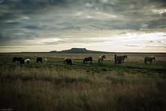 Icelandic Horses (Toine B.) Tags: iceland islande landscape paysage horses wild sunset nikon d750 tamron2470 chevaux