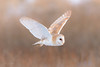 Barn Owl (Tyto alba) (benstaceyphotography) Tags: barnowl tytoalba birdofprey birdinflight nikonuk d800e 500f4vr winter wildlife winterwatch bif nature nikon hunting owls owl benstacey