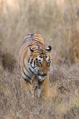 Tiger cub (AnilVarma) Tags: tiger cub animal bigcat wildlife nature forest todoba maharastra india nikon nikkor500mm 500mm d810