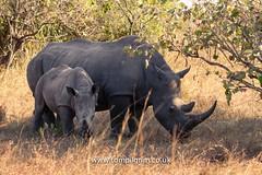 IMG_8854 (tompilgrim) Tags: africa bigfive ceratotheriumsimum conservation dragoman endangered nationalpark rhino safari uganda white ziwa horn mammal pachyderm rhinoceros sanctuary