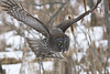 Great Grey Owl (jamesahawley) Tags: approved owl greatgreyowl greatgrayowl raptor bird natuer wildlife boreal winter predator