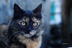 Pirata (stefano.chiarato) Tags: micio gatti cats animali pentaxart pentax pentaxlife pentaxk70