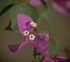 White tubular flowers (idunbarreid) Tags: bougainvillea bracts