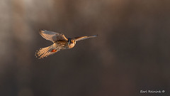 Falcon at last light. (Earl Reinink) Tags: bird animal wildlife raptor predator outside outdoors sky light winter earl reinink earlreinink nature photography photo falcon kestrel americankestrel thzdeaadza