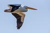 C2N_8606 (Clark Engbrecht) Tags: cheneylake kansas winter birds ice lakes nature outdoors waterfowl pelican