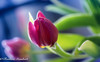 Still There (frederic.gombert) Tags: tulip red blue pink flower flowers light sun sunlight color colors spring winter macro plant garden bloom blossom nikon d850