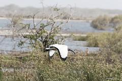 Ibis sacré (jeanot94) Tags: africansacredibis ibissagrado heiligeribis ibissacro sénégal saintlouis sinésaloum languedebarbarie djoudj mbour