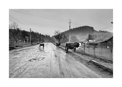 Cows (Jan Dobrovsky) Tags: leicaq landscape reallife mood outdoor countryside contrast road monochrome counrtylife atmosphere blackandwhite mud ukraine cows document
