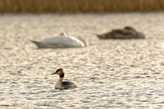 Great Crested Grebe (Matts__Pics) Tags: greatcrestedgrebe lougherne cofermanagh swans eveninglight