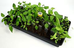 Steve's Garden 2018 1 (Stephen D. Melkisethian) Tags: stephenmelkisethian gardeningunderlights germinate seedstarting organicgardening homegrown growityourself diy gardening locavore urbangardening pepper peppers gmofreefood